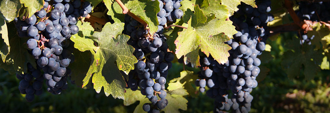 gw-uncommon-selection-beautiful-grapes